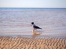 Un corvo sta camminando nell'acqua vicino alla spiaggia immagine stock libera da diritti