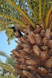 Un corvo sulla palma Fotografia Stock