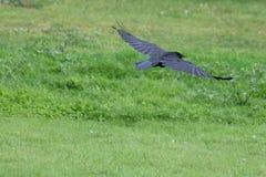 Un corvo in volo Immagine Stock Libera da Diritti