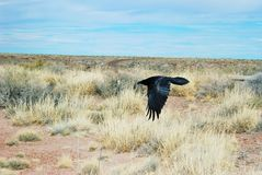 Un corvo in volo vicino alla terra nel deserto dell'Arizona Fotografia Stock