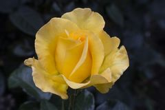 Un Cose sull'immagine di un fiore giallo della camelia immagine stock libera da diritti