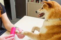 Un cosmetólogo trata clavos de los perros de Shiba Inu Fotos de archivo libres de regalías