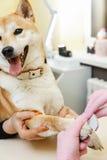 Un cosmetólogo trata clavos de los perros de Sibu Inu Fotografía de archivo