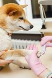 Un cosmetólogo trata clavos de los perros de Sibu Inu Fotografía de archivo libre de regalías