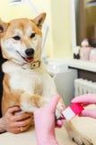 Un cosmetólogo trata clavos de los perros de Sibu Inu Fotos de archivo libres de regalías