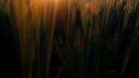 Un coucher de soleil fantastique dans le champ de blé du village clips vidéos