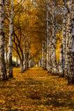 Un couloir des arbres de bouleau blanc d'automne avec le jaune part du stretc images stock