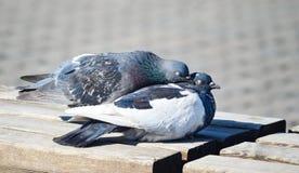 Un couple affectueux des oiseaux pigeons Images stock