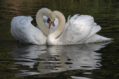 Un couple blanc de cygne Photo libre de droits