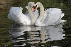 Un couple blanc de cygne Images stock