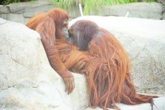 Un couple brun de singe dans le zoo photos stock
