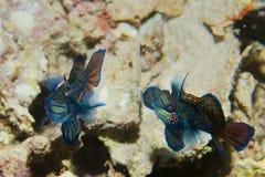 Un couple coloré de mandarine pêche dans l'amour Photographie stock libre de droits