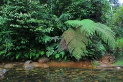 Un courant complètement d'algea rouge et d'une rivière claire dans la jungle avec les fougères énormes images stock