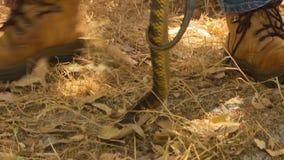 Un cowboy soulevant un serpent de tigre avec un crochet banque de vidéos