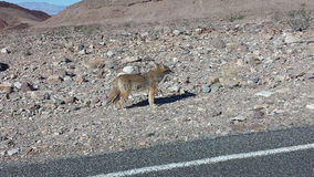 Un coyote salvaje por el borde de la carretera fotos de archivo libres de regalías