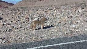 Un coyote sauvage par le bord de la route photos libres de droits