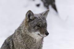 Un coyote solo in una scena di inverno Fotografia Stock Libera da Diritti