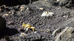 Un crabe à la plage clips vidéos