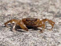 Un crabe d'eau douce dans la défensive photographie stock libre de droits