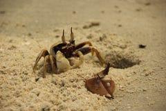 Un crabe de Ghost observé par klaxon images libres de droits