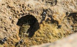 Un crabe miking une nouvelle maison Photo stock