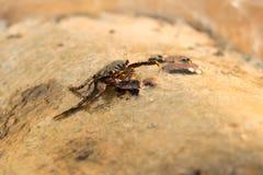 Un crabe s'accrochant à une roche sur Koh Rong Sanloem Island, Cambodge Image stock