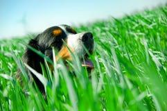 Un crabot mignon dans l'herbe Photographie stock libre de droits