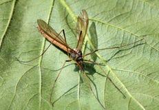 Un Cranefly o papà-lungo-gambe Fotografia Stock Libera da Diritti