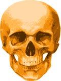 Un cranio dorato di un uomo Immagine Stock