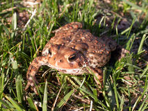 Un crapaud commun dans l'herbe Photo stock