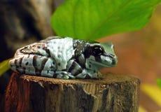 Un crapaud multicolore énorme se reposant sur un tronçon en bois sur un fond des feuilles vertes photo stock