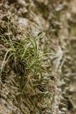 Un crecimiento airplant en una corteza espinosa de un árbol Imagenes de archivo
