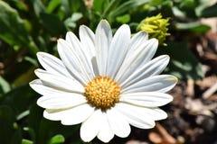 Un crecimiento de flor de la margarita blanca Fotografía de archivo