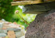 Un crecimiento de flor entre las piedras Imagenes de archivo