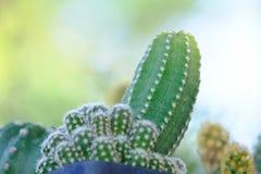 Un crecimiento de flor hermoso del cactus en un pote imagenes de archivo