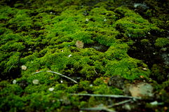 Un crecimiento verde del musgo Fotos de archivo