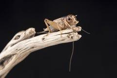 Un cricket di casa si è appollaiato sull'estremità di un pezzo di legno, isolato contro un fondo nero Immagini Stock