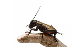 Un cricket sur un bâton. photos stock