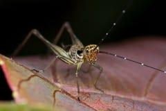 Un cricket sur une lame rougeâtre photo stock