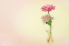 Un crisantemo en el florero de cristal Imágenes de archivo libres de regalías