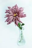 Un crisantemo en el florero de cristal Imagenes de archivo