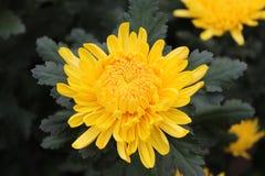 Un crisantemo giallo Fotografia Stock Libera da Diritti