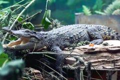 Un crocodile avec la bouche ouverte Image libre de droits