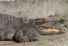 Un crocodile avec les mâchoires ouvertes Image stock