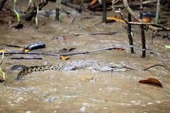 Un crocodile de chéri sur un côté boueux Images libres de droits