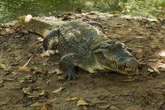 Un crocodile se dore dans l'excitation de la Gambie, Afrique de l'ouest image stock