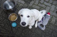 Un cucciolo bianco del pastore tedesco cerca la macchina fotografica immagini stock libere da diritti
