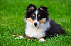 Un cucciolo del cane pastore di Shetland Fotografie Stock
