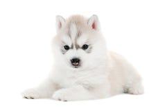 Un cucciolo del husky siberiano ha isolato immagini stock
