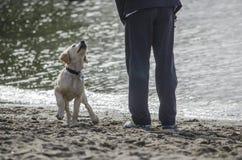 Un cucciolo del laboratorio aspetta emozionante il suo proprietario per gettare la palla fotografie stock libere da diritti